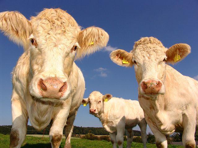 Крупный рогатый скот - коровы